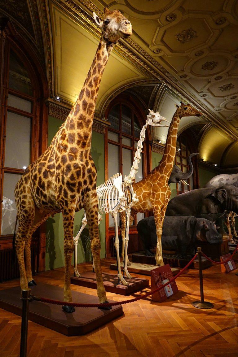 Photo of giraffe taxidermy in Wien, Austria.