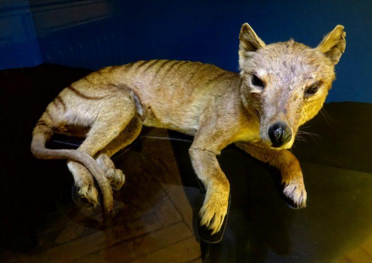 Photo of thylacine, Tasmanian tiger, in Vienna, Austria.