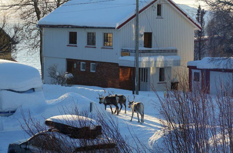 Photo of reindeer in the streets in Lødingen, Norway
