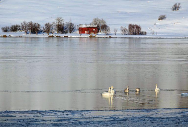 Photo of whooper swans in Lofoten, Norway