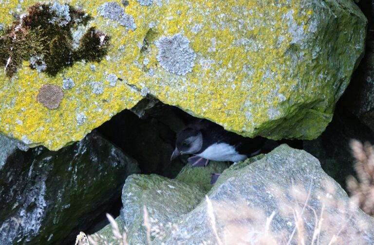 Photo of puffin chicken hiding in the rocks at Runde, Norway.