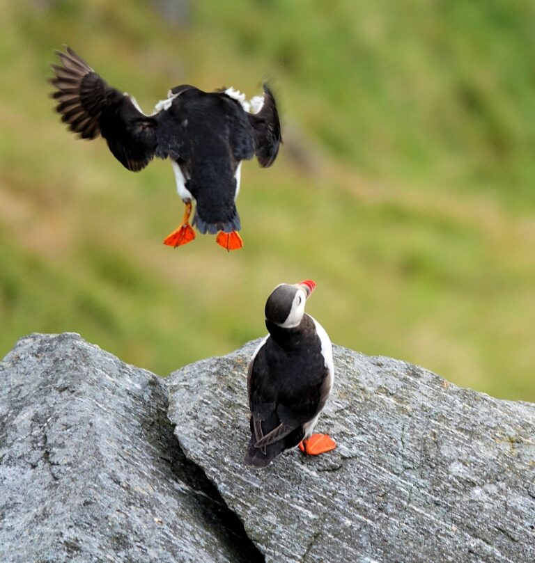 Photo of puffin going in for the landing on Runde, Norway.