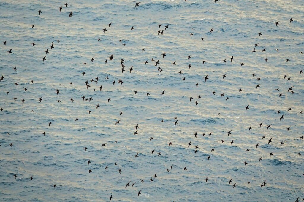 Photo of many puffins playing above the sea on Runde, Norway.