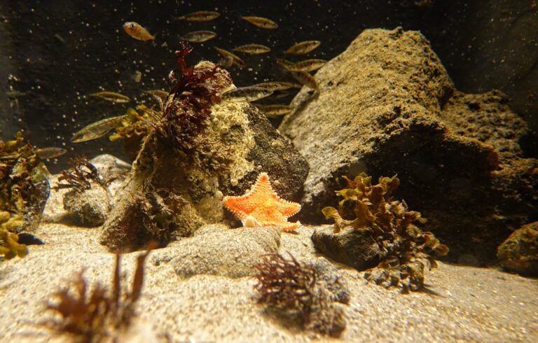 Photo of exhausted starfish at the Atlantic Ocean Aquarium in Ålesund, Norway.