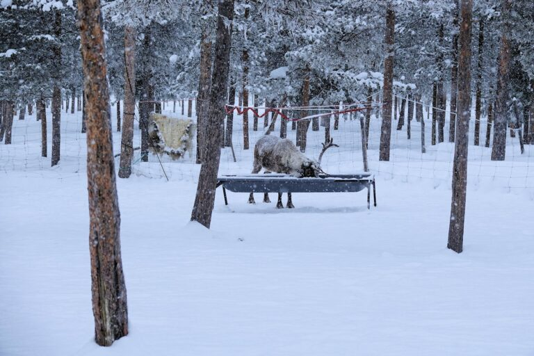 Photo of reindeer at the Reindeer Lodge, Jukkasjärvi, Sweden.