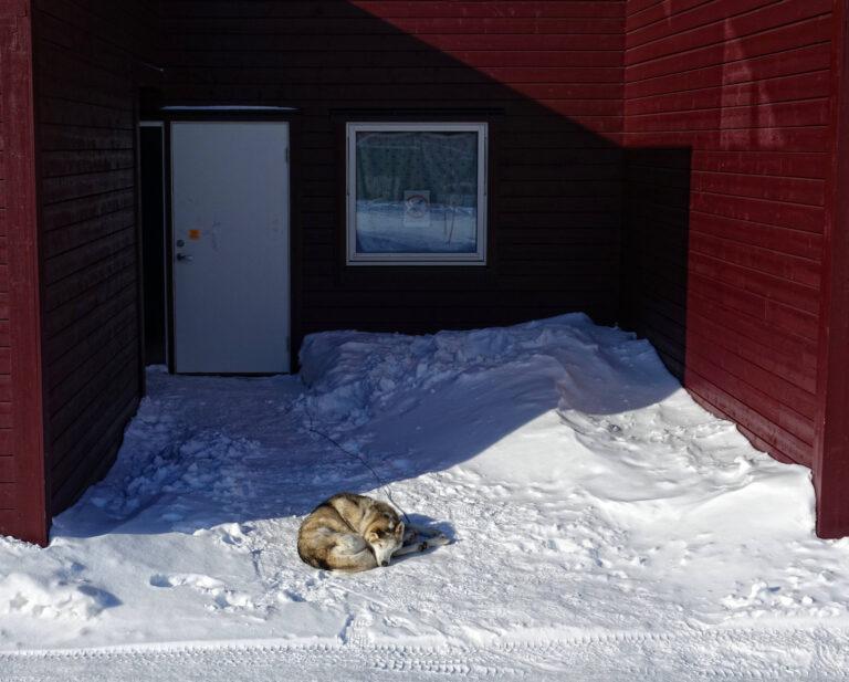 Photo of Alaskan husky dog in Longyearbyen, Svalbard.