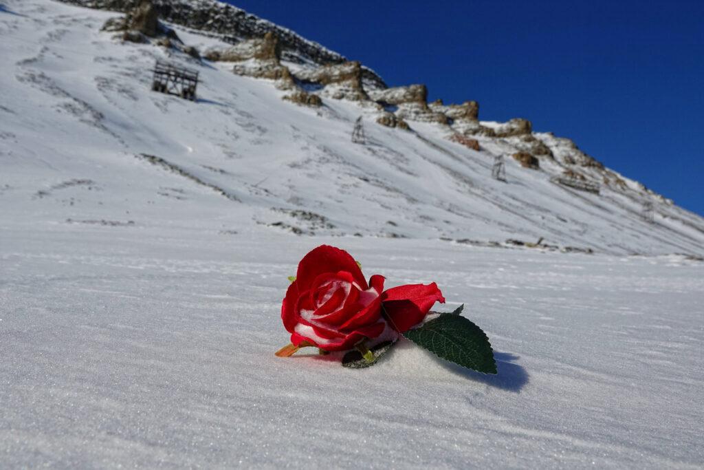 Photo of frozen rose in the snow in Longyearbyen, Svalbard.
