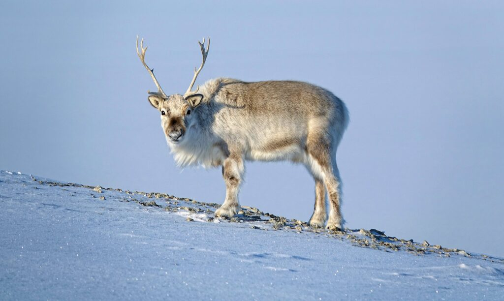 Photo of you having the full attention of a Svalbard reindeer.