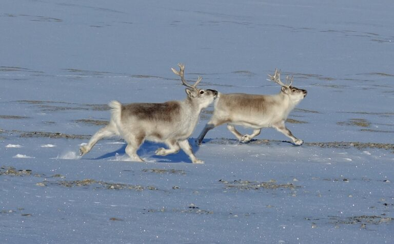 Photo of Svalbard reindeer with their characteristic running style.
