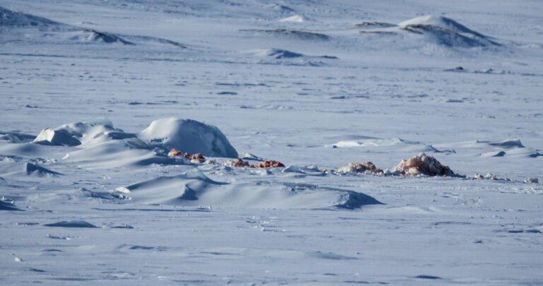 Photo of red ice on Mohnbukta, Svalbard.