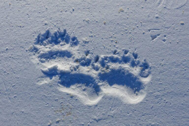 Photo of fresh polar bear footprints on Svalbard.
