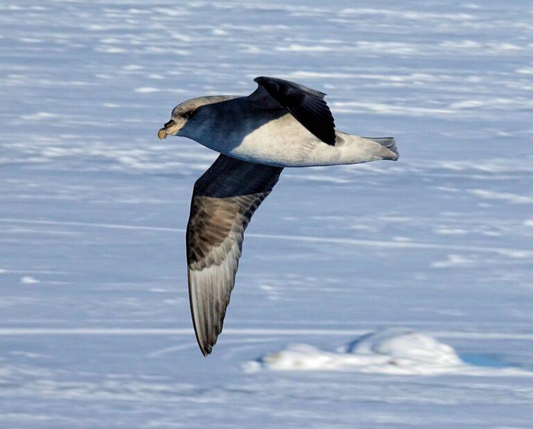 Photo of northern fulmar in flight (Fulmarus glacialis).